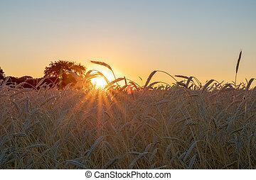 pendant, blé, coucher soleil, oreilles, champ