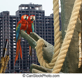 Pending housewarming ...Parrot - red blue macaw against the background of a residential building under construction