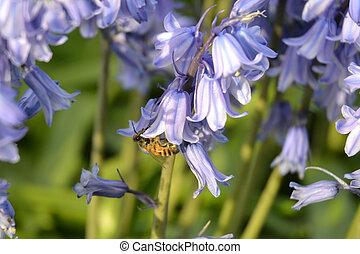 pendre, abeille, jacinthe des bois