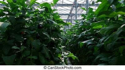 pendre, aubergine, serre, usines