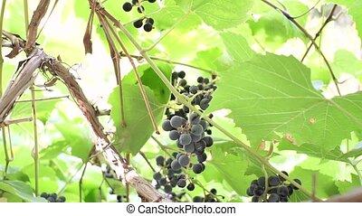 pendre, rouges, vigne, noir, season., tas, vignoble, récolte, raisins