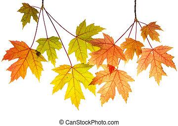 penduradas, árvore maple, ramos, com, folhas