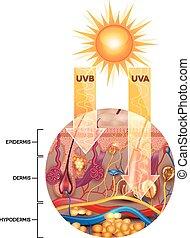penetrates, sunscreen lotion, oskyddad, utan, skinn, uva, uvb
