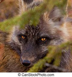 Penetrating gaze of an alert red fox genus Vulpes -...