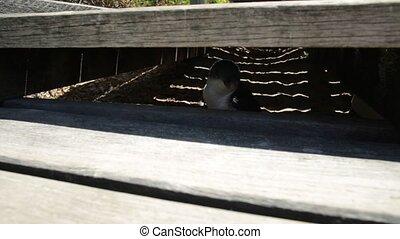 Penguin at Penguin Island - Little Penguin hidden under the...