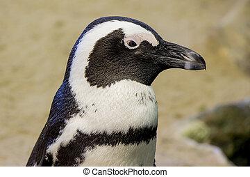 Penguin Close Up Portrait