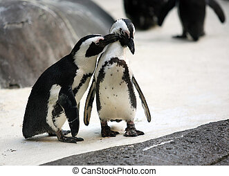 Penguin couple - Cute affectionate penguin couple at the zoo