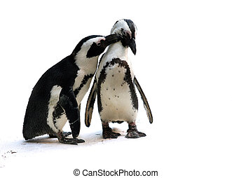 Penguin couple - Cute affectionate penguin couple isolated