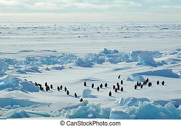 Penguin group in icescape - A group of about forty Antarctic...