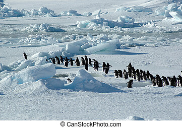 A group of about forty Antarctic Adelie penguins is led by one enthusiastic penguin on the left.