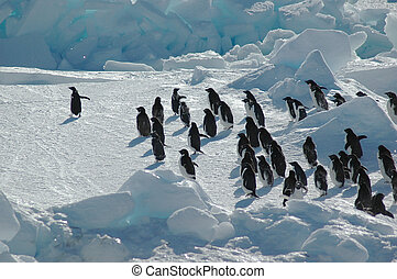 A group of about thirty Antarctic adelie penguins is led by one enthusiastic penguin on the left.