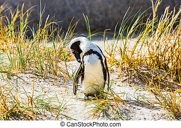 Penguin in the grass in Boulders Penguin Colony