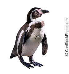penguin. Isolated on white