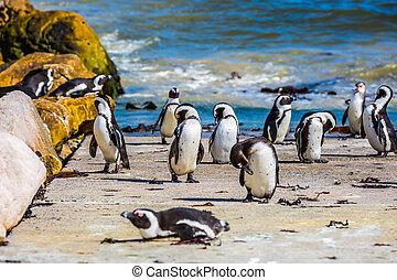 penguin, keien, kolonie