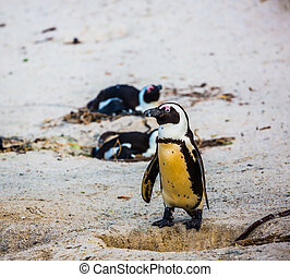 Penguin on coastal sand of the Atlantic Ocean