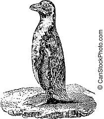 Penguin, vintage engraving.
