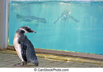 Penguin walk - African penguin (Spheniscus demersus) chick...