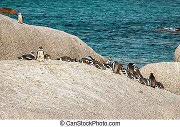 penguins at the beach of Atlantic ocean in South Africa, Cape Town