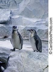 Penguins couple