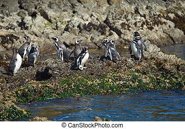 Magellanic penguins (Spheniscus magellanicus) at Monumento Natural Isolotes de Punihuil on the pacific coast of Chilo? island in Chile, South America