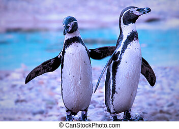 Penguins - Pair of penguins standing on a shore flapping...