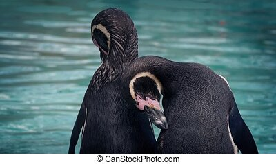 Penguins Preening By The Water - Couple of penguins preen by...