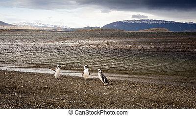 penguins Tierra del Fuego - Penguins in Tierra del Fuego ...