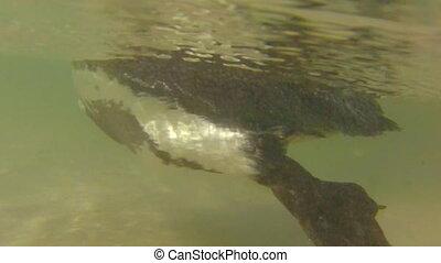 Penguins underwater swimming