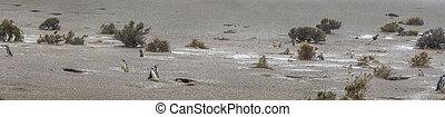 Penguins walk in preservation area in Puerto Madryn.