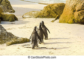 Close-up of three penguins walking on the white sand of Boulder Beach Nature and Reserve. The popular colony of African penguins is located near Simon's Town and Cape Town in South Africa.