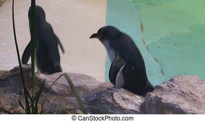 Penguins walking on rocks - A medium shot of penguins...