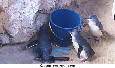 Penguins walking on sand with a bucket - A medium shot of a...