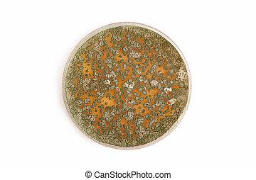 penicillum, funghi, su, agar, piastra, sopra, bianco