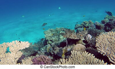 Pennant coralfish or bannerfish in the Red Sea - Egypt