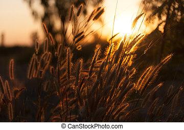 Pennisetum flower in sunset