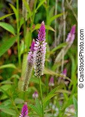Pennisetum flower