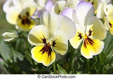 pensée, fleurs