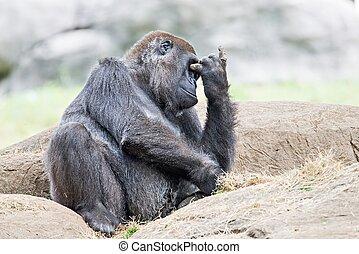 pensée, gorille, rocher, séance