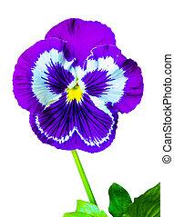 penséer, färgrik, blommig, bakgrund, från, blomma, pansy., viol blomma