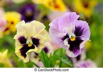 pensamiento, flores violetas, en, cantero
