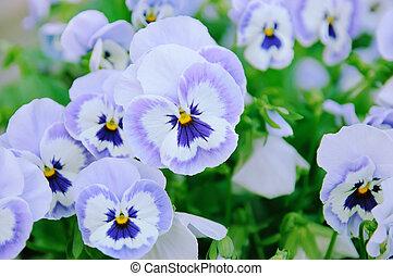pensamiento, violeta