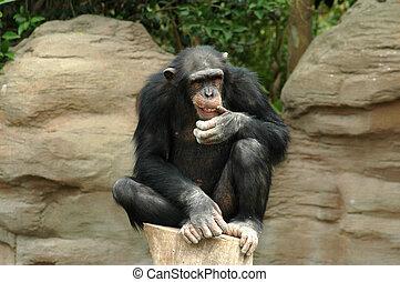 pensando, chimpanzé