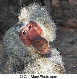 pensativamente, poses, espectadores, babuíno, prateado
