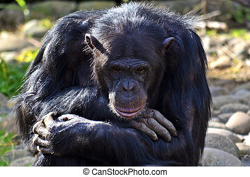 pensif, pose, chimpanzé
