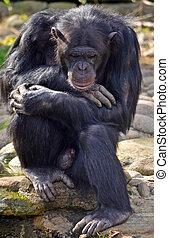 pensif, pose, mâle, chimpanzé
