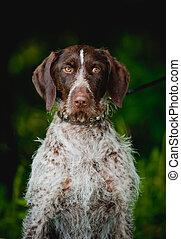 Chocolate hunting dog