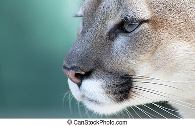 Pensive Florida Panther - Close up view of the face of a...