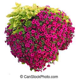 Pentunia Hanging Basket - Hanging basket of pentuinia...