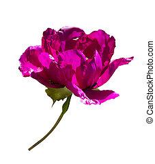 peonía, aislado, borgoña, fondo., peonies., flores blancas,...