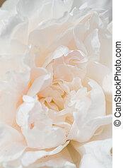 peonía, flor